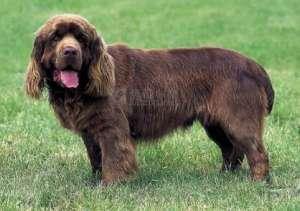 如何训练塞式猎犬?训练塞式猎犬保护主人及不咬人的方