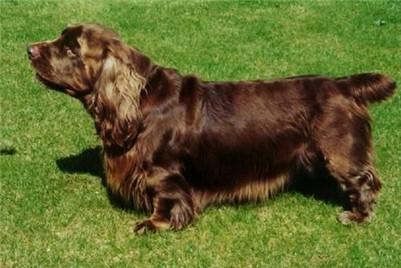 如何训练塞式猎犬?训练塞式猎犬保护主人及不咬人的方法